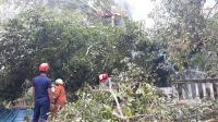Pohon Kayu Are 'Raksasa' Usia Ratusan Tahun Terbakar, Dahannya Timpa 10 Rumah