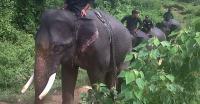 Kawanan Gajah Liar Rusak Rumah Warga di Nagan Raya Aceh
