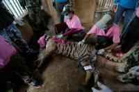 86 Harimau Diselamatkan dari Kuil di Thailand Mati