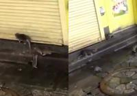 Video Viral Tikus Penuhi Jalanan Tokyo Pasca Terjangan Topan Hagibis