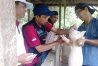 Puluhan Babi Mati Terserang Virus Kolera, Warga Was-Was