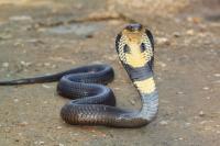 Kawanan Ular Kobra Gegerkan Warga Kampung Padat Penduduk di Jember