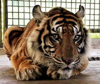 Alat Pendeteksi 2 Harimau Sumatera Terlepas Usai Dilepasliarkan