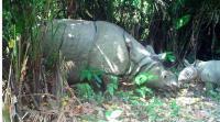 Populasi Badak Jawa di Ujungkulon Bertambah, Kini Ada 72 Ekor