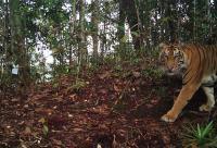 Warga Lahat Sumsel Tewas Diterkam Harimau saat Berkebun