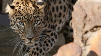 Seekor Macan Tutul Liar yang Berkeliaran Timbulkan Kepanikan di Kota India