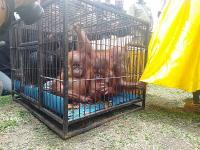 3 Orangutan Ditemukan Warga di Dalam Kardus Dekat Jembatan Pekanbaru