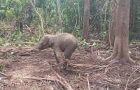 Bayi Gajah Sumatera Ditemukan Meronta Kesakitan Terkena Jerat Pemburu di Riau
