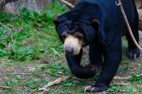 IRT di Jambi Diserang Beruang saat Panen Sawit