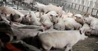 6.000 Babi di Mentawai Mati, Diduga Terserang Virus ASF