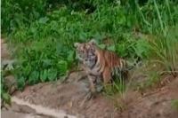 Dua Ekor Harimau Teror Warga Kerinci di Tengah Pandemi Corona