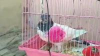 Dituduh Mata-Mata Pakistan, Burung Merpati Ditangkap Polisi India