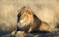 Penjaga Kebun Binatang Terluka Parah Diserang Singa di Australia