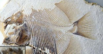 Ditemukan Fosil Mirip Piranha Berusia 152 Juta Tahun
