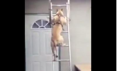 Turun dari Atap Lewat Tangga, Anjing Ini Hebohkan Netizen