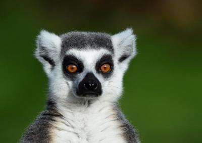 Hotel Ini Tawarkan Spa dengan Lemur, Tertarik Mencobanya?