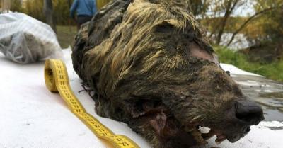 Tampak Utuh, Warga Temukan Kepala Serigala Berusia 40 Ribu Tahun