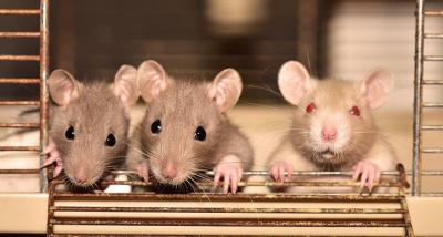 Parah! Istana Buckingham Diserang Pasukan Tikus