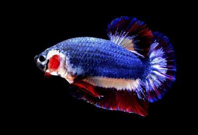 Tak Disangka, Ikan Cupang Bisa Tingkatkan Perekonomian