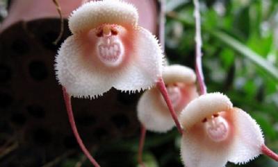 Penampakan Anggrek Langka Menyerupai Wajah Monyet