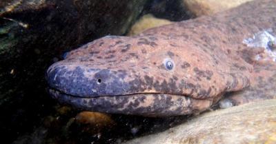 Salamander Raksasa Ini Dijuluki Amfibi Terbesar di Dunia