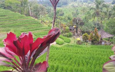 Menikmati Pemandangan Asri Jatiluwih sambil Menyeruput Kopi Luwak