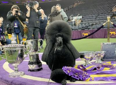Queen Siba, Poodle Terbaik Pemenang Kompetisi Westminster Kennel Club