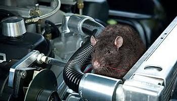 Waspada Serangan Tikus saat Mobil Lama Berada di Rumah