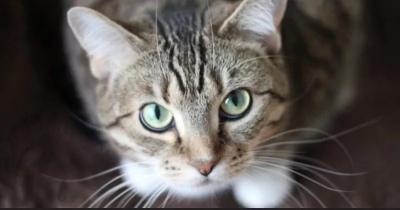 Studi Ungkap Sesama Kucing Bisa Tularkan Virus Corona