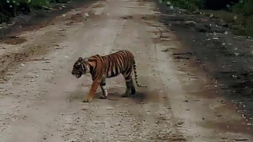 Ilustrasi Penampakan Harimau (foto: Ist)