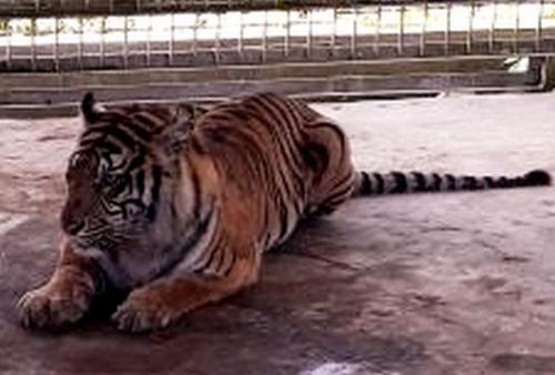 Harimau Bonita.