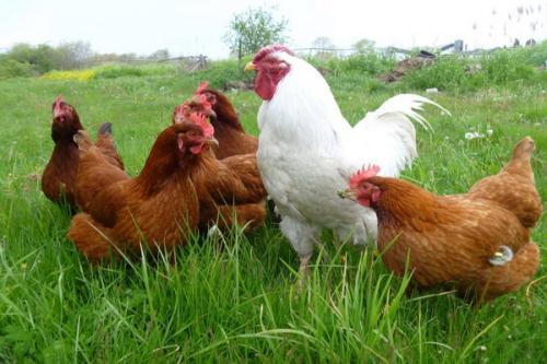 Ketika ayam berkokok, ia mengirimkan sinyal ke ayam jantan lainnya.