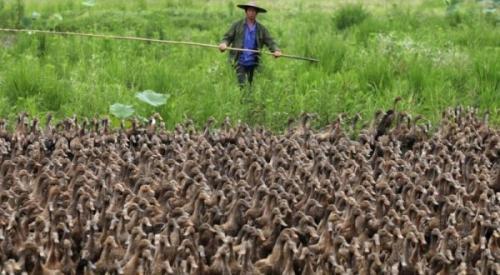 Setiap tahun, ribuan bebek yang kelaparan dilepaskan ke sawah yang luas.