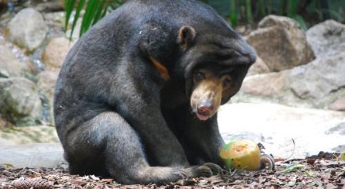 Beruang madu. (Foto: Okezone)