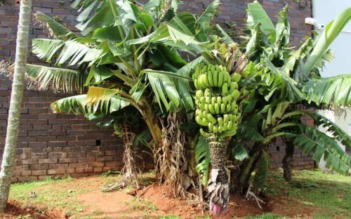 Pohon pisang.