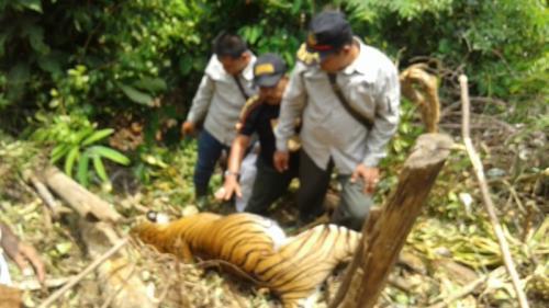 Harimau sumatera ditemukan mati. (Ilustrasi/Dok BBKSDA Riau)