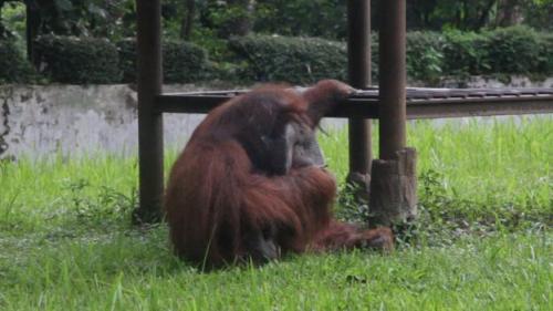 Ozon si orangutan di Kebun Binatang Bandung meniru perilaku merokok dari pengunjung. (Foto: AFP)
