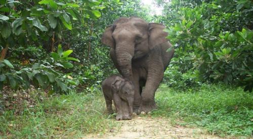 Gajah sumatera. (Foto: Live Science)