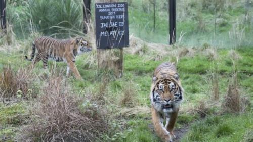 Harimau sumatera bernama Melati dan Jae Jae. (Foto: Getty Images)