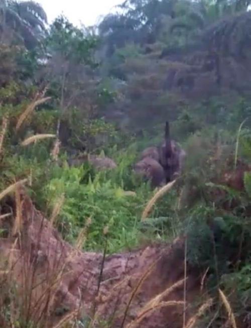 Kawanan Gajah Memasuki Pemukiman di Kecamatan Rumbai, Pekanbaru, Riau (foto: Banda Haruddin Tanjung/Okezone)