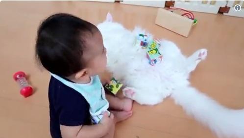 Toyo kabarnya sangat nyaman memberikan perutnya kepada anak-anak