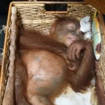 Orangutan ditemukan dalam kondisi dibius dalam keranjang kayu (foto: Supplied)
