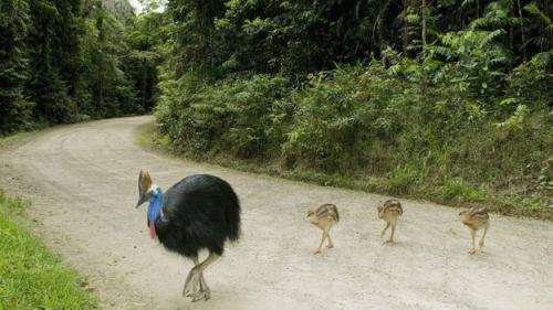 Kasuari adalah Spesies Burung Terbesar dan Terberat di Dunia (Kevin Schafer/Barcroft Mediake/Getty Image/BBC)