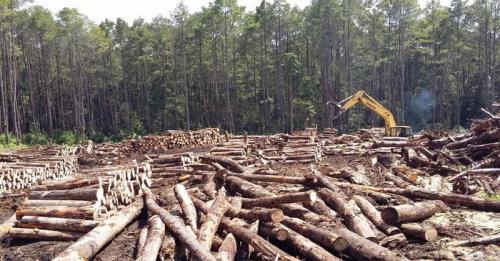 Ilustrasi pembalakan liar (illegal logging). (Ist)