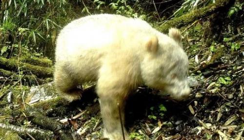Panda Albino ditemukan di Cagar Alam Nasional, China