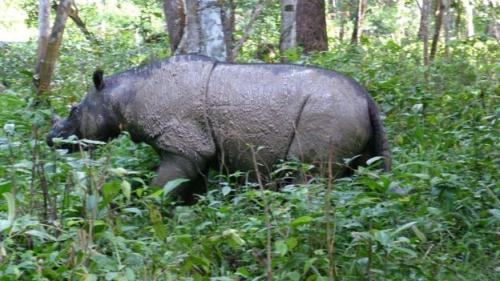 Badak sumatera. (Foto: Save the Rhino International)