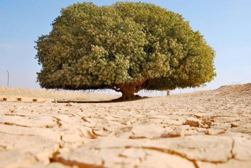 kisah pohon sahabi