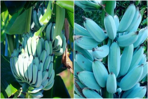 Pisang Blue Java yang langka