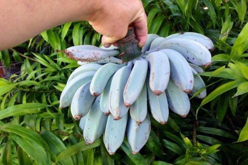 Setandan pisang blue java dengan rasa unik