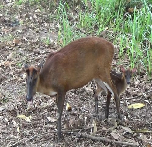 Kijang Sumatera